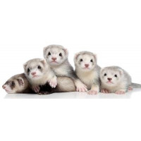 SHOP FOR FERRETS