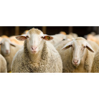 SHOP FOR SHEEP